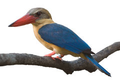 King fisher isolated Stock Images