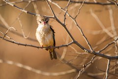 King fisher in morning light South Africa Royalty Free Stock Photography