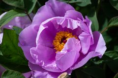 King of flowers, Chinese peony royalty free stock photos
