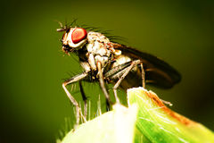 King Fly Insect Royalty Free Stock Photos