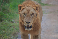 King of the forest. The lion looking ahead in the forest stock images