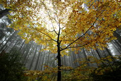King of the forest. Majestic yellow tree in the middle of a foggy forest Royalty Free Stock Photos