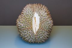 King of Fruit, Durian ready to be ripped. With aqua and dark grey background Royalty Free Stock Images