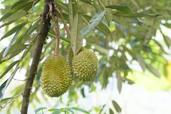 Musang king durian on tree royalty free stock photography
