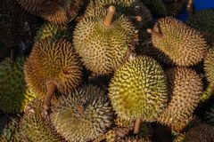 The king of fruit is fresh and ripe durian stock photo