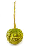 King of fruits, durian long stalk, on white background Royalty Free Stock Image