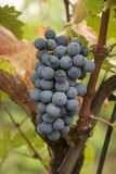 The King of Grapes Royalty Free Stock Images