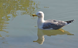King gull. Swimming in the lake Royalty Free Stock Photography