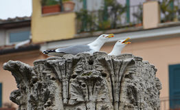 King gulls nest Royalty Free Stock Image