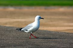 King gulls sit on a ground. South Africa stock images