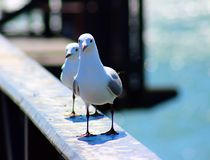 2 king gulls sits on the railing. South Africa royalty free stock image