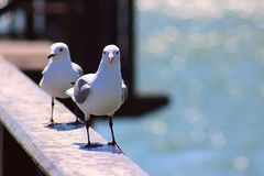 2 king gulls sits on the railing. South Africa. 2 king gulls sits on the white railing. South Africa stock images