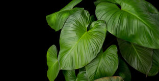 King of Heart Homalomena rubescens Roxb green leaves tropical plant on black background Royalty Free Stock Photo