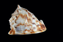 King Helmet Seashell Stock Photo