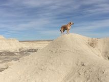King of the hill. Golden Lab makes his way up the dunes Royalty Free Stock Photo