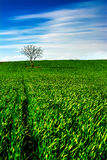 Lonely Tree on Green Field. Lonely tree on a green field in early spring time Royalty Free Stock Photo