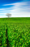 Lonely Tree. On a green field in early spring time Stock Photography