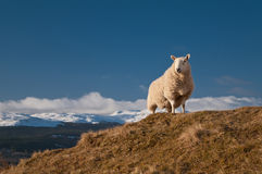 King of the Hill - Sheep Above Loch Tay Scotland Stock Images