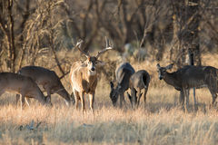 The king with his ladies. Whitetail buck with his ladies Royalty Free Stock Photo