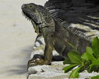 King of the Iguanas. While traveling on the islands of the Caribbean I was fortunate to catch this extremely large native iguana sunning himself on the coral Stock Photography
