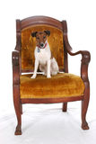 King Jack Russell. Jack Russell Terrier sitting in a large, gold arm chair Stock Photography