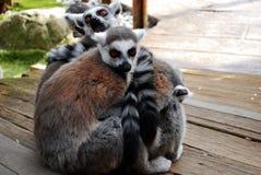 King Julien. Just some lemurs enjoying spring Royalty Free Stock Images