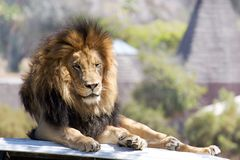 King of the Jungle. Lion resting on the hood of a land rover Stock Images