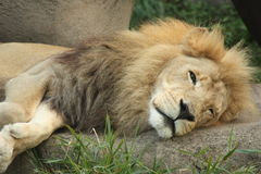 King of the jungle. Male lion in the zoo waking from a nap Stock Photos