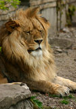 King Of The Jungle. A lion at our local zoo, reminds me of the lion on Wizard of Oz Stock Image