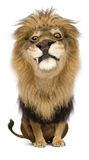 King of the Jungle. A cartoony proud lion king staring suspiciously Royalty Free Stock Photo