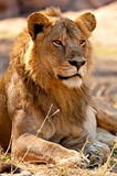 King of the Jungle Royalty Free Stock Images