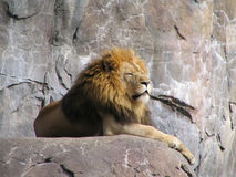 King Of The Jungle. Image of a Lion at the Sedgwick County Zoo in Wichita Kansas Royalty Free Stock Images