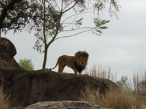 King of the Jungle. Lion looking over his savannah Royalty Free Stock Photography