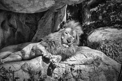 The King of the Jungle. In black and white Royalty Free Stock Photo