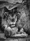 The King of the Jungle. In black and white Stock Images