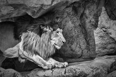 The King of the Jungle. In black and white Royalty Free Stock Photography