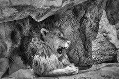 The King of the Jungle. In black and white Royalty Free Stock Image