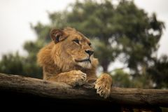 Lion sitting on a log stock images