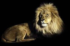 The king of the jungle Stock Photos