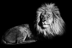 The king of the jungle Royalty Free Stock Photography