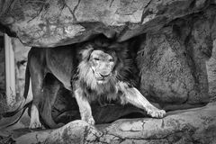 The King of the Jungle. In black and white Stock Image