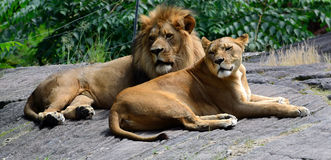 King of the Jungle. A lion & lioness resting in the summer sun Stock Photography