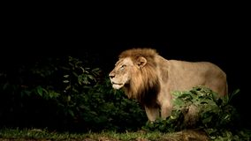 King of the Jungle royalty free stock photography