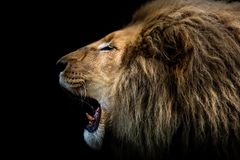 The King Of The Jungle`s Roar. Lion Portrait royalty free stock photography