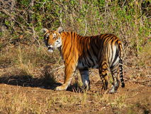 King of jungle. Tiger sighted in forests of karnataka India Stock Image