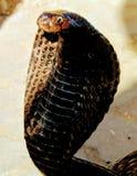 King kobra in Jaipur royalty free stock photos