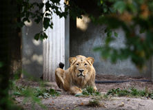 King Lion. A photo of a lion stock photography