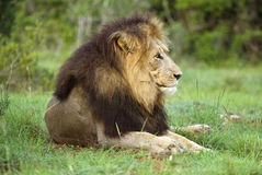 King Lion Royalty Free Stock Photo