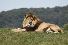 King Lion Stock Images