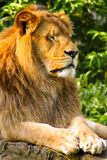 King lion Stock Photo
